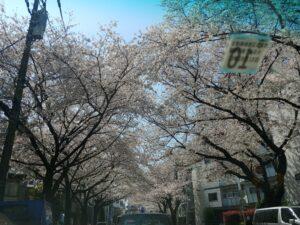 今さら・・桜